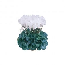 Цикламен Halios Pure White Питомник Первоцвет в горшке 1 л