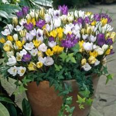 Луковица Крокус Ботанический смесь окрасок 1 шт