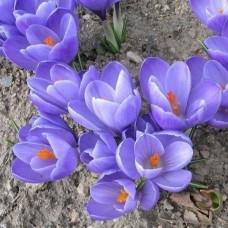 Луковица Крокус Крупноцветковый Квин ов Блюз 1 шт