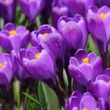 Луковица Крокус Крупноцветковый Ремембранс 1 шт