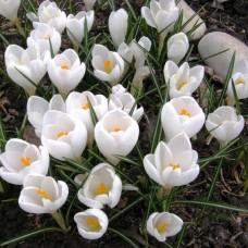 Луковица Крокус Крупноцветковый Жанна д'Арк 1 шт