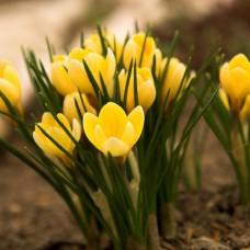 Луковица Крокус Крупноцветковый Желтый 1 шт.