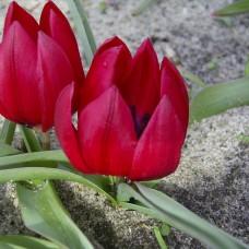 Луковица Тюльпан Ботанический Лилипут 1 шт