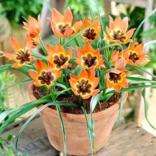 Луковица Тюльпан Ботанический Литтл Принцесс 1 шт