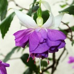 Растение Фуксия Blue Mirage, горшок 1 литр