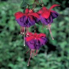 Растение Фуксия Dark Eyes, горшок 1 литр