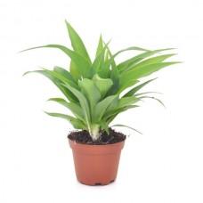 Растение Хлорофитум Лемон, горшок 1 литр