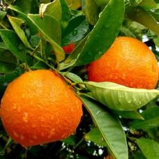 Саженец Первоцвет Апельсин, горшок 1 л.