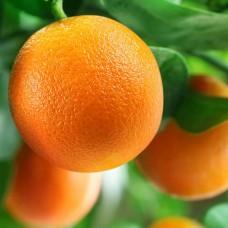 Саженец Первоцвет Апельсин Вашингтон навел