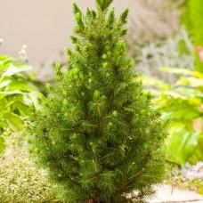 Саженец Первоцвет Ель Коника (Picea Conica) 2 л
