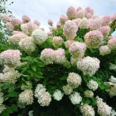 Саженец Первоцвет Гортензия метельчатая Грандифлора 3 л