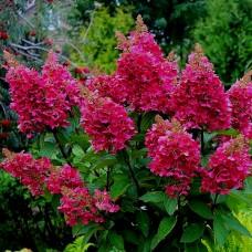 Саженец Первоцвет Гортензия метельчатая Вимс Ред 3 л