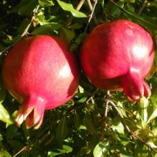 Саженец Первоцвет Гранат Гюлоша розовая 2-2,5 м 4-5 лет 20 л