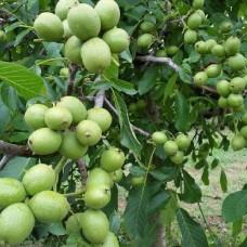 Саженец Первоцвет Грецкий орех Великан