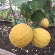 Саженец Первоцвет Лимон Пандероза