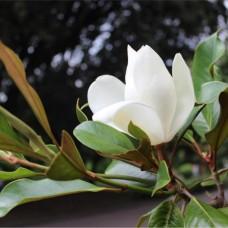 Саженец Первоцвет Магнолия крупноцветковая(Magnolia grandiflora) 5 л.