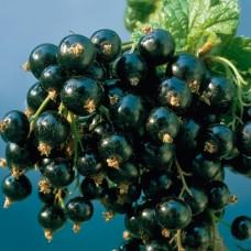 Саженец Первоцвет Смородина черная Изюмная