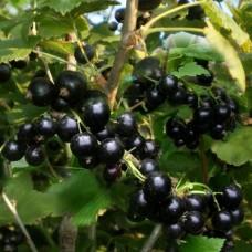 Саженец Первоцвет Смородина черная Селеченская
