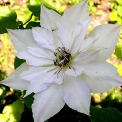 Саженец ЗКС Клематис крупноцветковый Мать Сиедлиска 1 шт