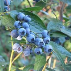 Саженец Первоцвет Голубика высокорослая Блюкроп 0,8 л
